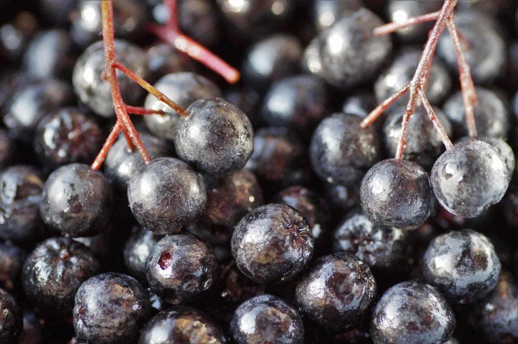 Aronia-ein Superfood aus der Region- Aroniabeeren nach der Ernte