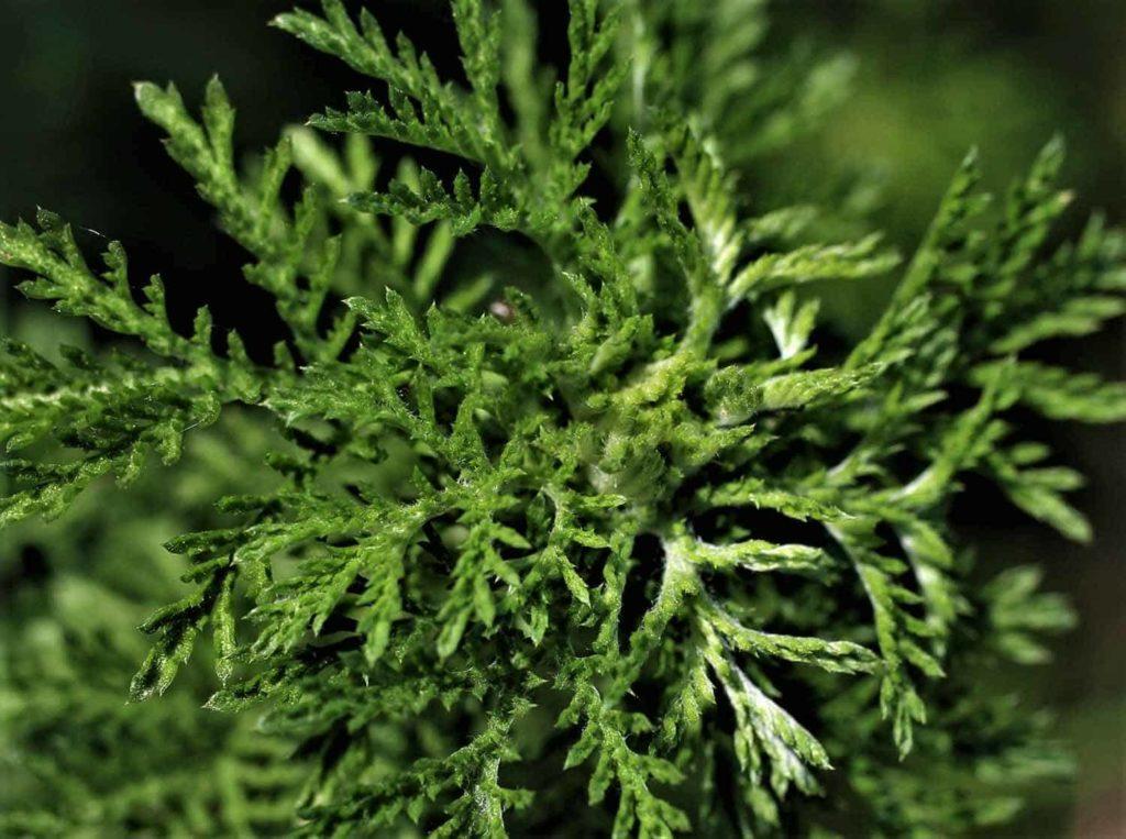Der Einjährige Beifuß - Artemisia annua, die Königin der Heilpflanzen- Bellswelt