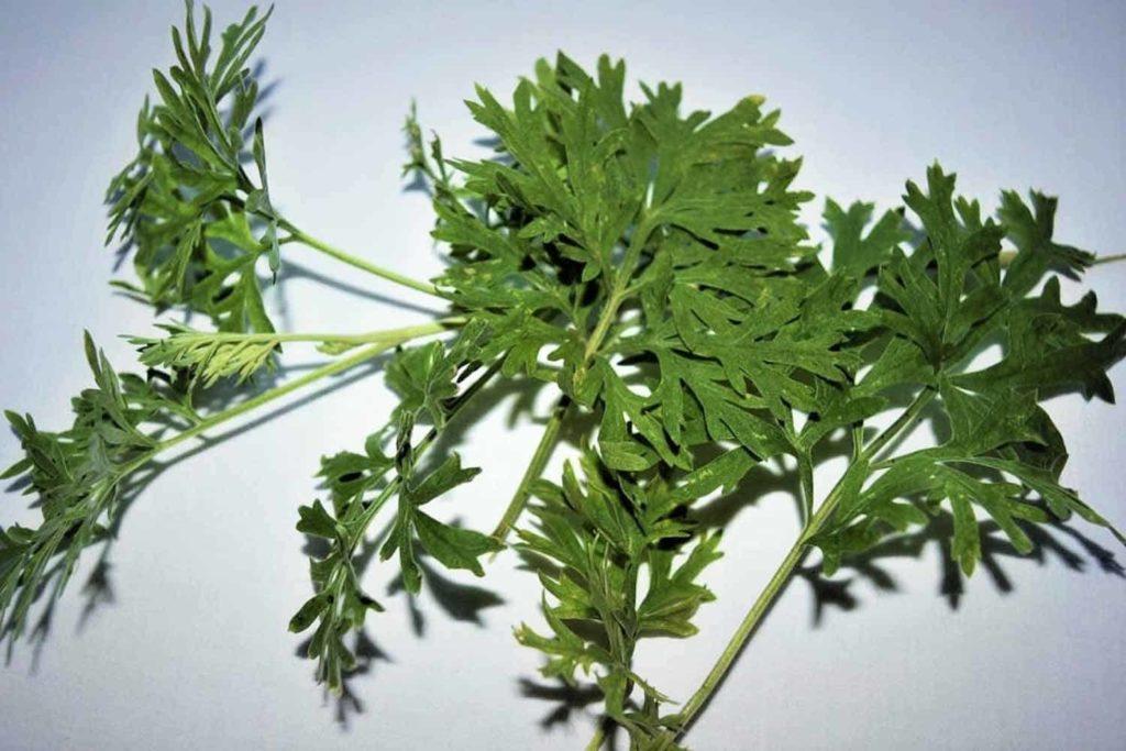 Der Einjährige Beifuß - Artemisia annua, die Königin der Heilpflanzen- frischer Beifuß-Bellswelt
