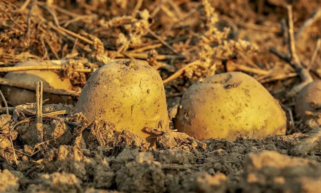 Die Kartoffel - eine gesunde Knolle- Kartoffel im Boden-Er&Ge