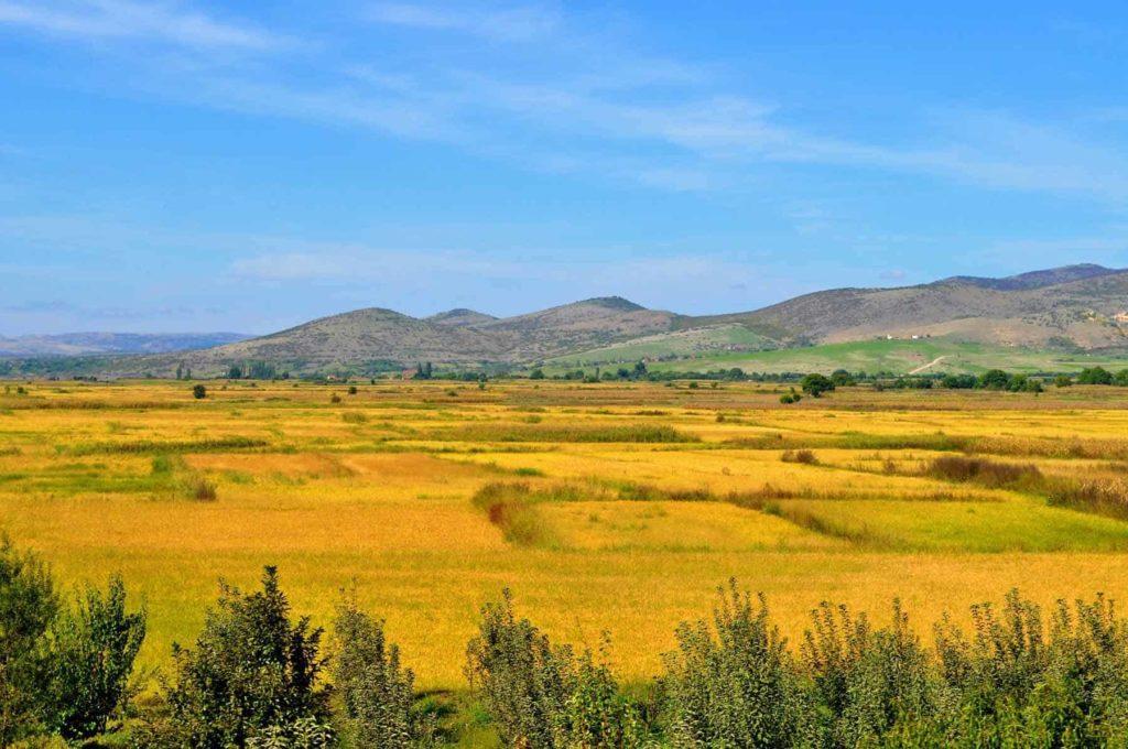 Reisfelder vor der Ernte in Mazedonien-Bellswelt