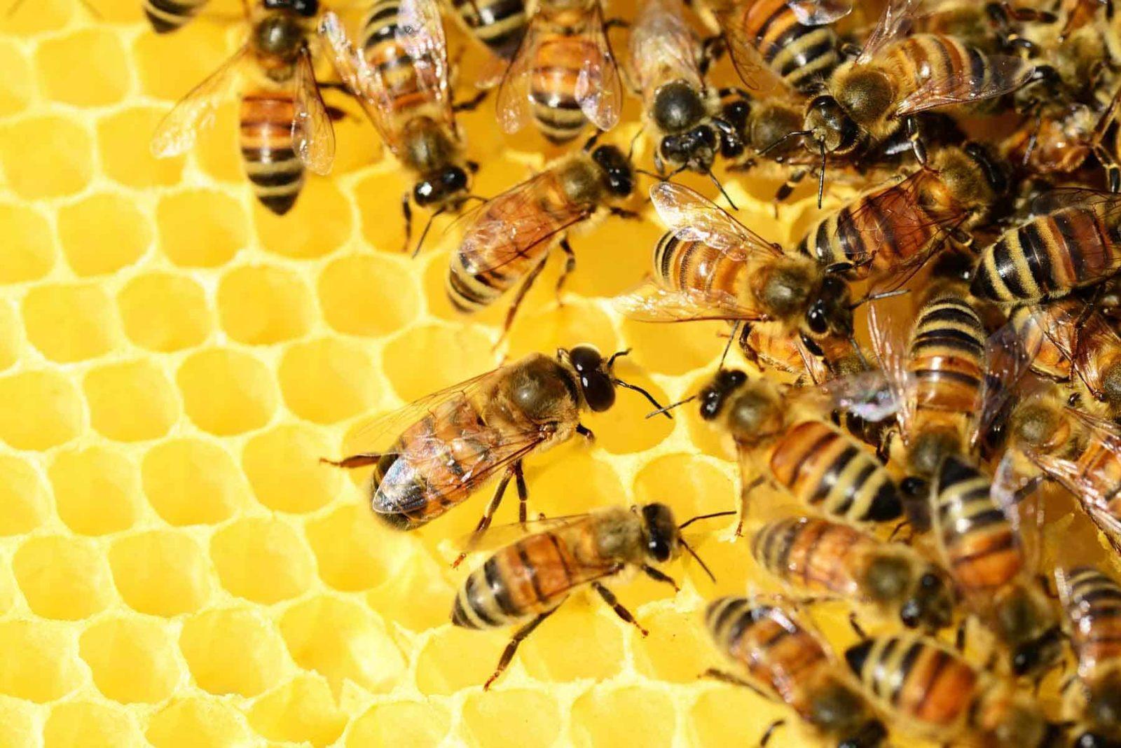 Honig-der goldene Saft der Bienen- Titelbild-Bellswelt