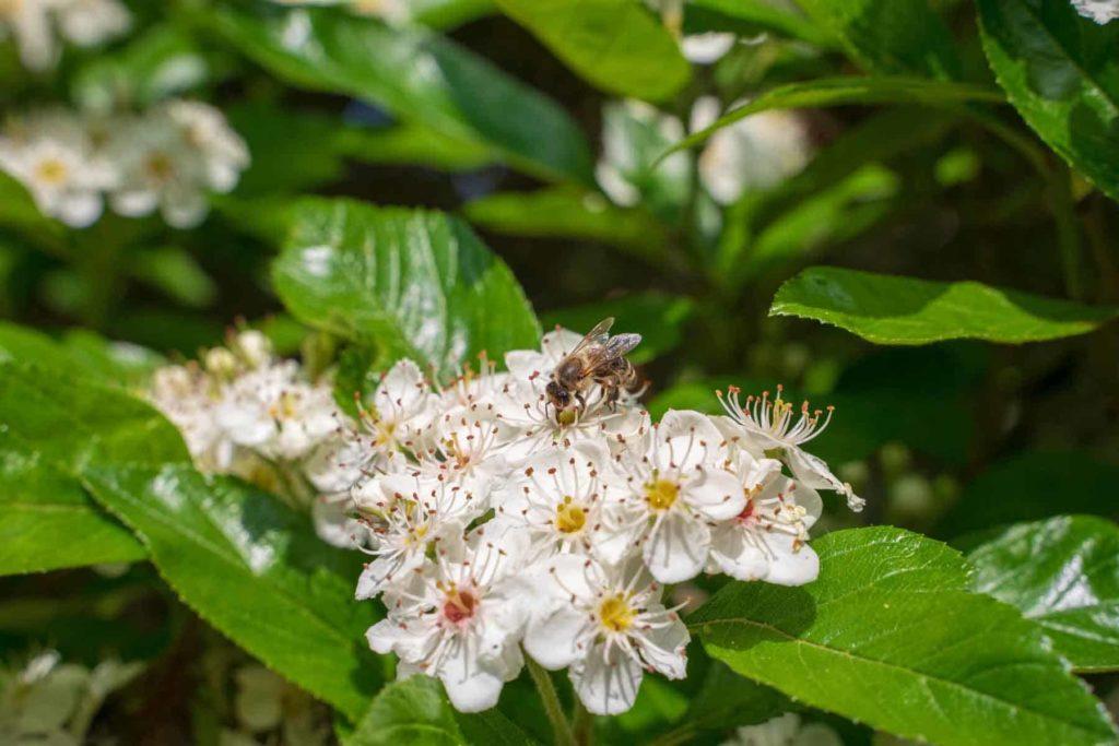Honig-der goldene Saft der Bienen-Nektar sammeln-Bellswelt