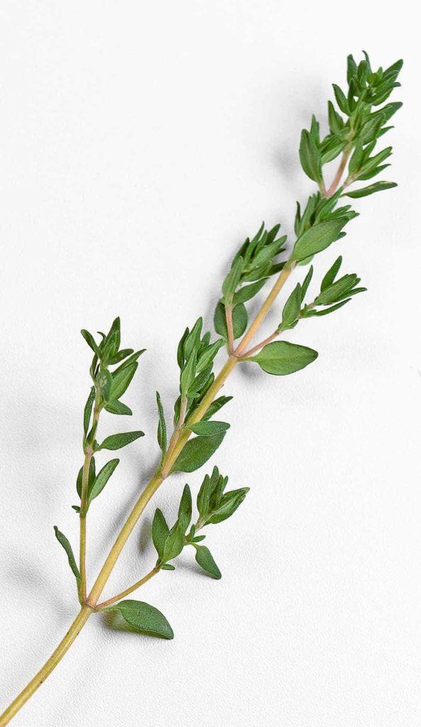Thymian - das natürliche Antibiotikum Zweig BellsWelt