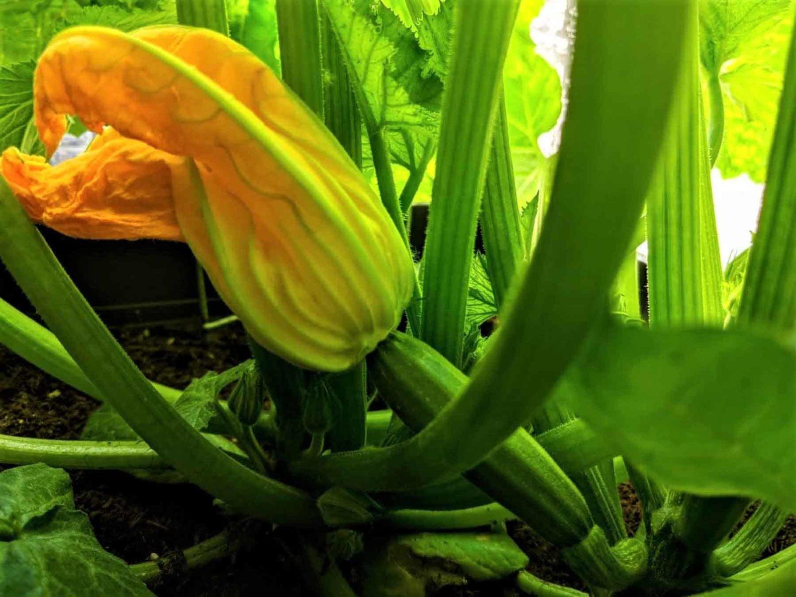 Zucchini Gesunder Alleskönner für Körper und Geist-Titelbild-Bellswelt