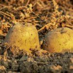 Kohlenhydrate - gesund oder ungesund-Kartoffeln im Boden- BellsWelt