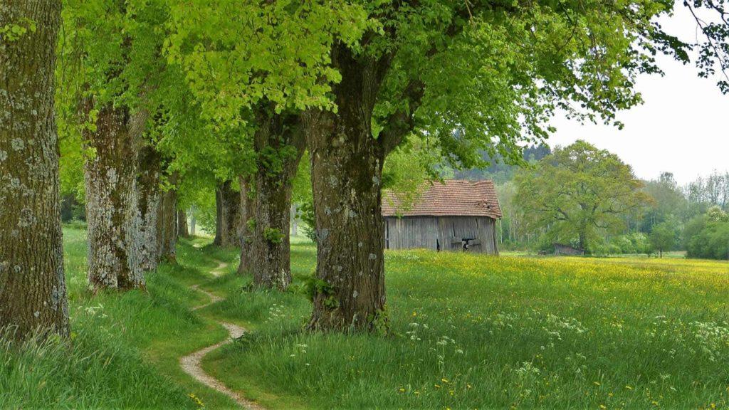 Die Lindenblüte als Heilpflanze-Lindenallee-BellsWelt