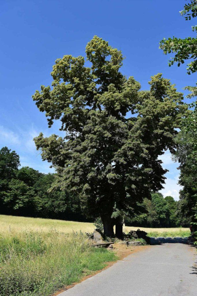 Die Lindenblüte als Heilpflanze-Lindenbaum-BellsWelt