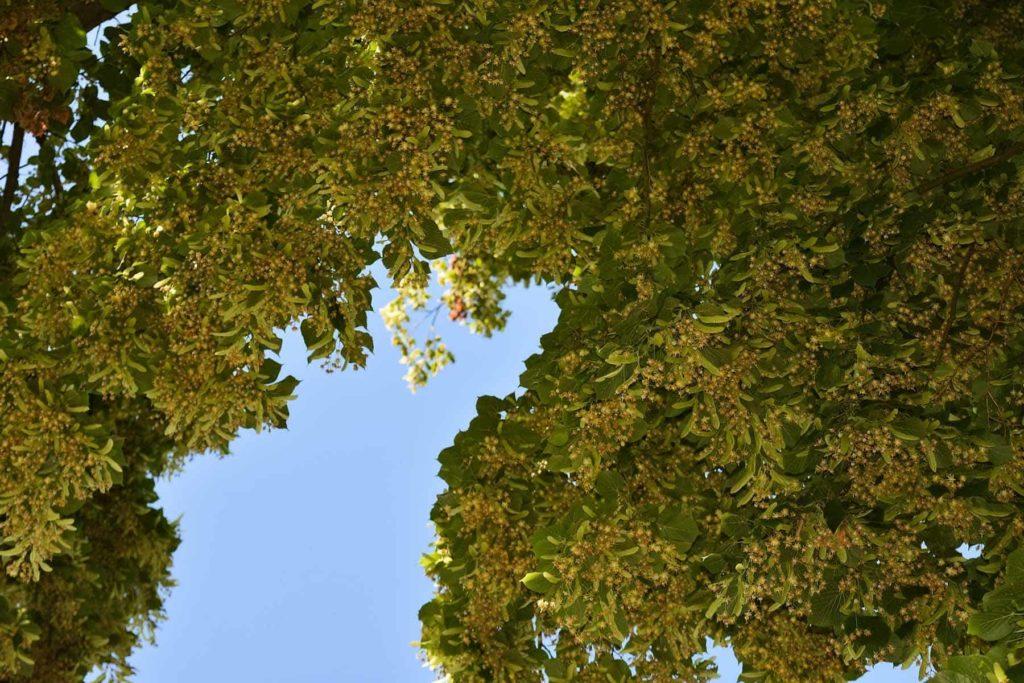 Die Lindenblüte als Heilpflanze-Lindenblüten- BellsWelt