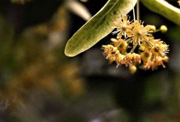 Die Lindenblüte als Heilpflanze-Titel-BellsWelt