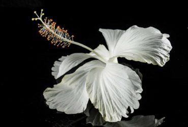 Hibiskus-die Blume der Unsterblichkeit-Titel-BellsWelt
