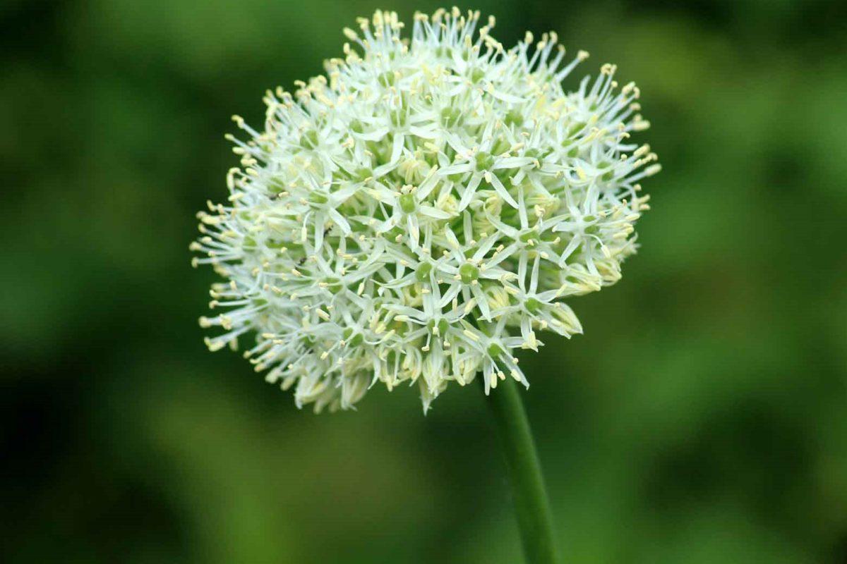 Knoblauch - eine großartige Knolle- Blüte - BellsWelt