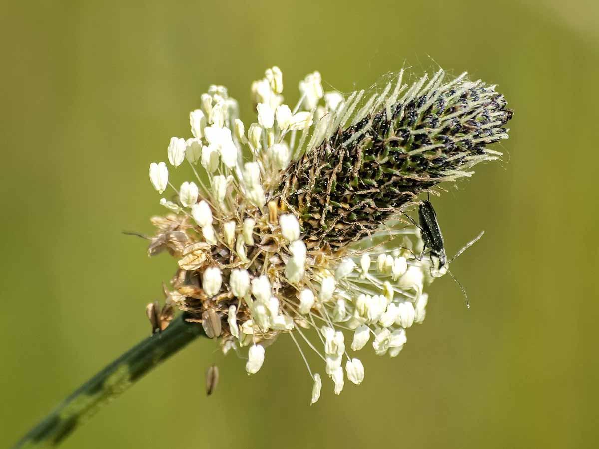 Spitzwegerich - natürliches Antibiotikum - Blüte- BellsWelt