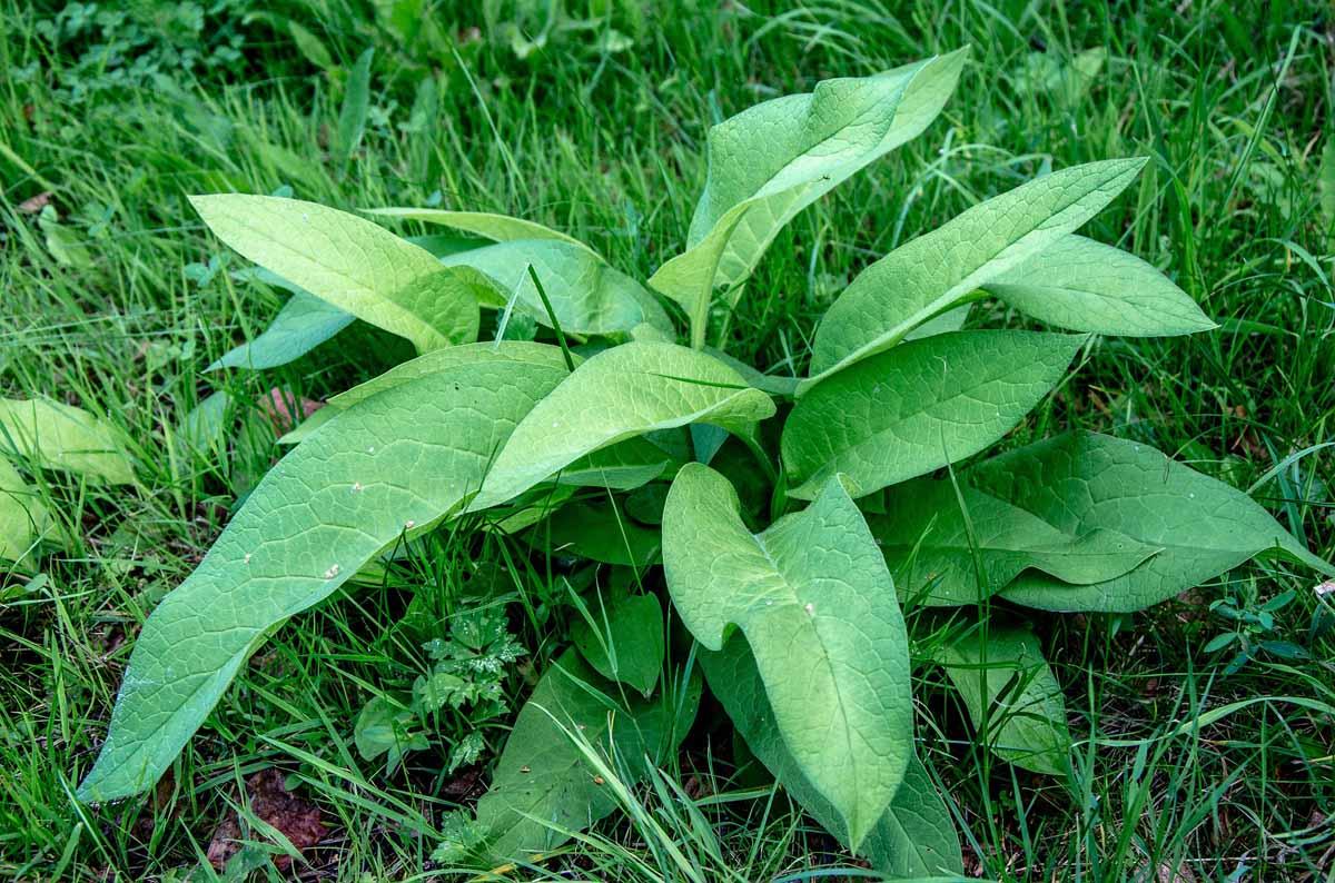 Spitzwegerich - natürliches Antibiotikum - Spitzwegerich Pflanze- BellsWelt