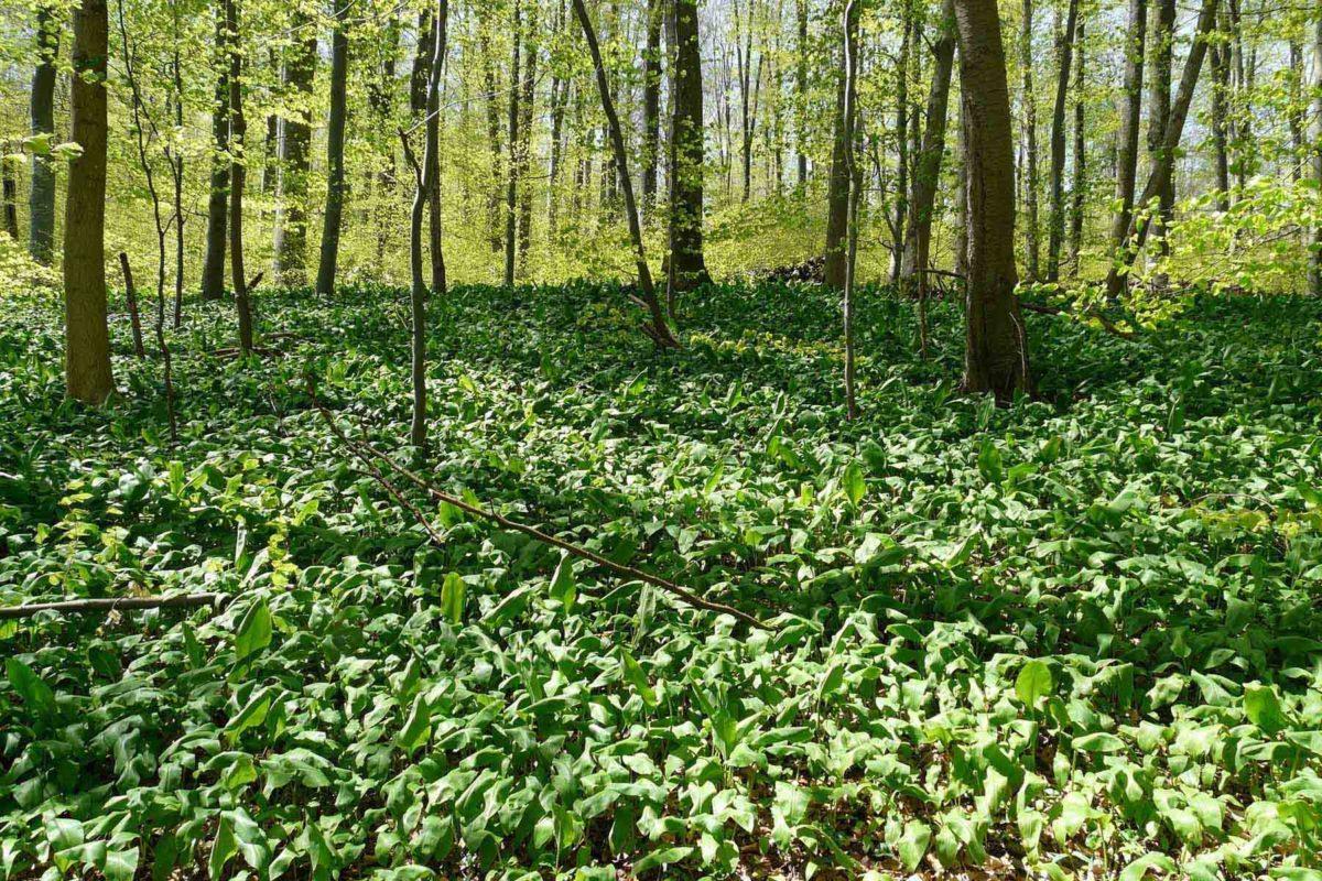 Bärlauch - heilend und gesund - Bärlauch im lichten Wald - BellsWelt