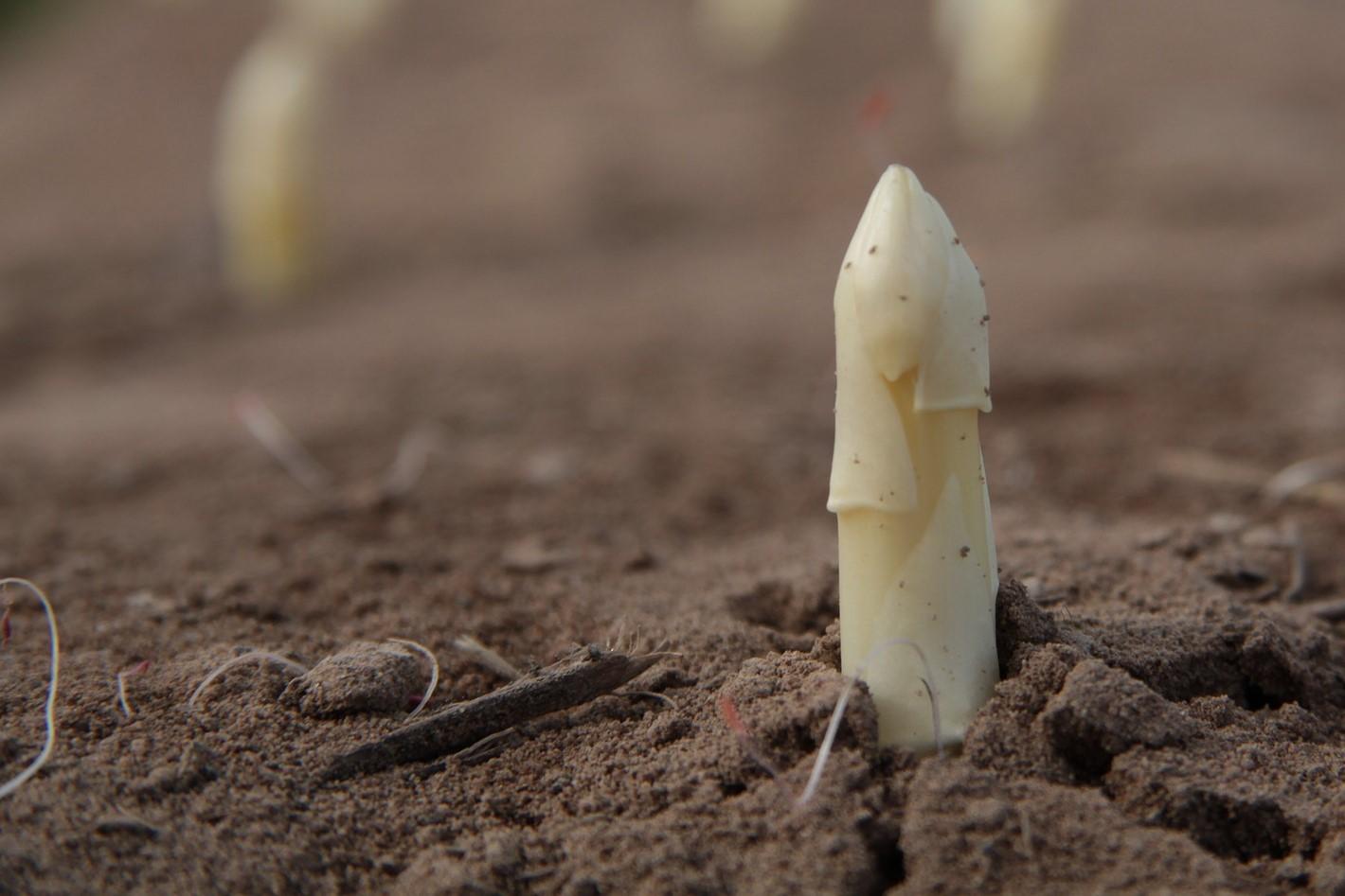 Spargel- -die Königin der Gemüse- Spargel vor der Ernte- BellsWelt