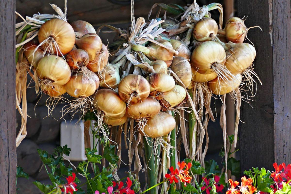 Zwiebeln-heilsames und gesundes Gemüse - Zwiebeln zum Trocknen aufgehangen - BellsWelt