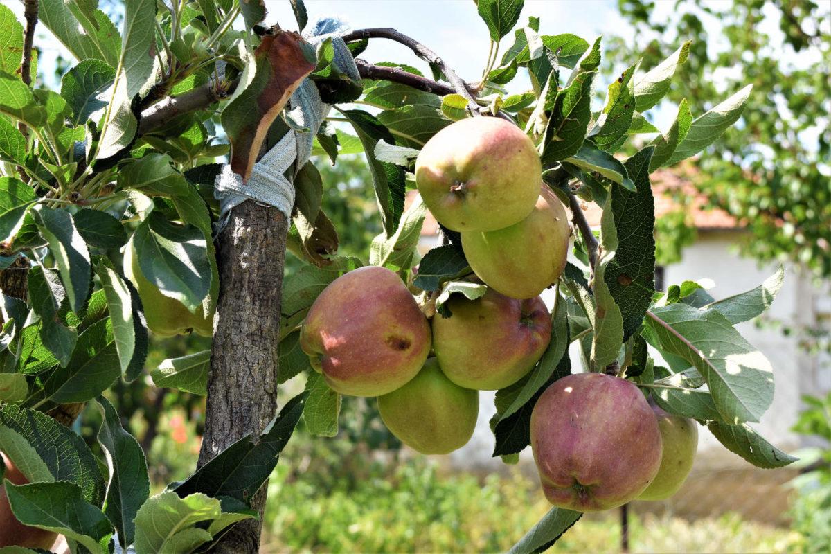 Äpfel - gesund, knackig und lecker - Bio Anbau- BellsWelt