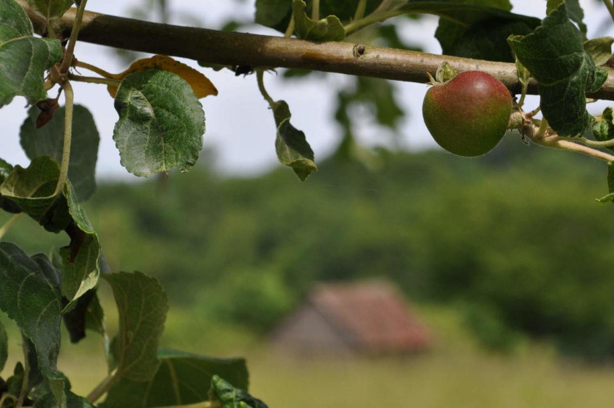 Äpfel - gesund, knackig und lecker - Er wird noch größer - BellsWelt