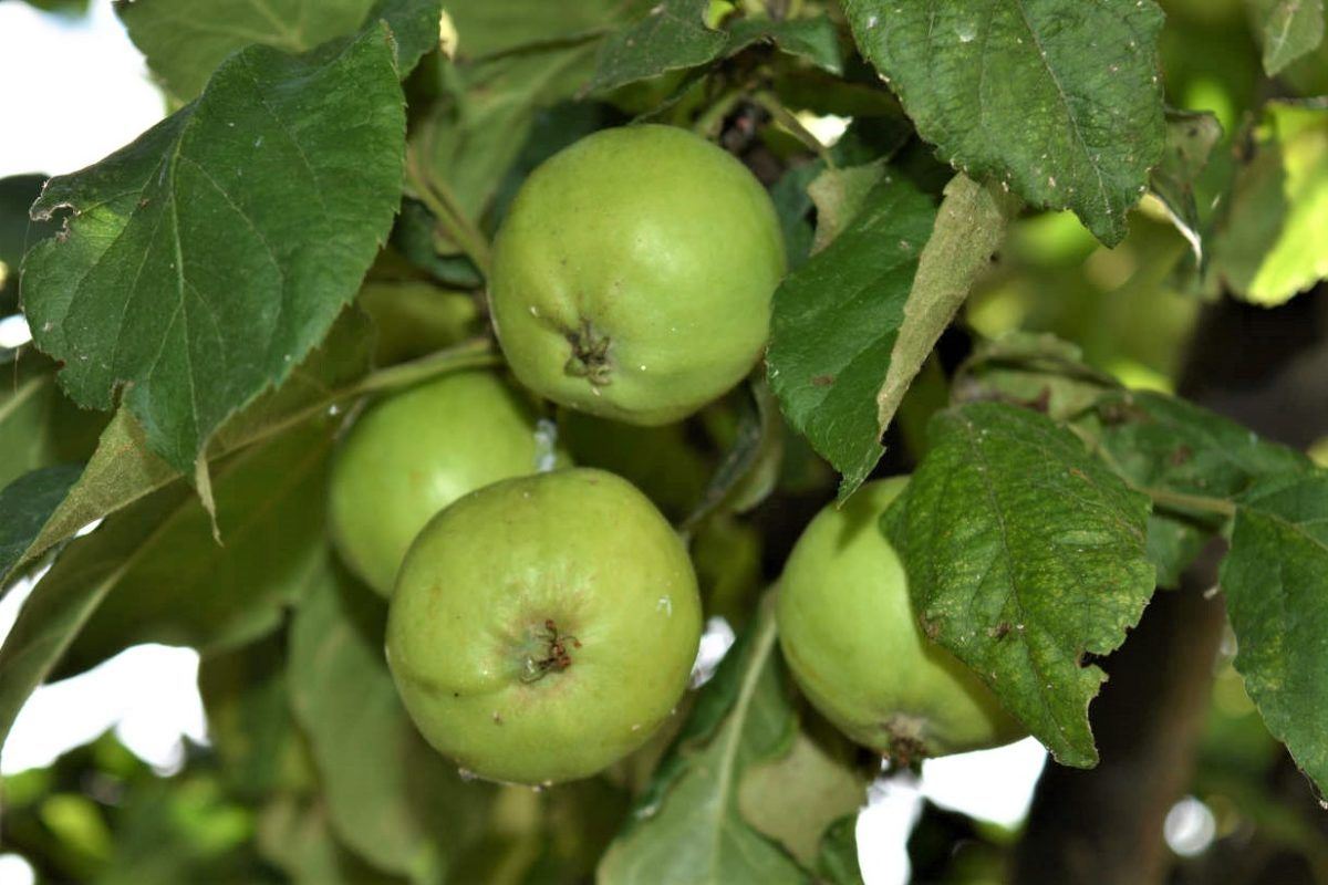 Äpfel - gesund, knackig und lecker - Lecker und gesund - BellsWelt