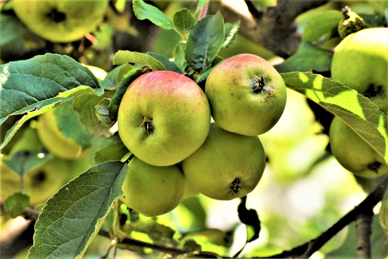 Äpfel - gesund, knackig und lecker - Titel - BellsWelt