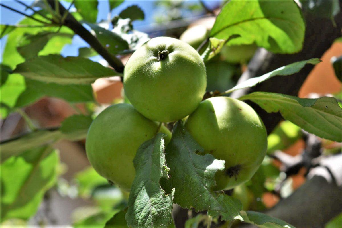 Äpfel – gesund, knackig und lecker