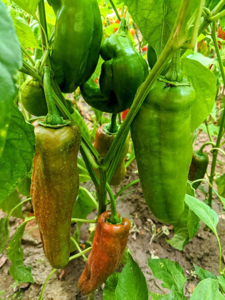 Paprika - die gesunde Schote-Paprika im Garten- BellsWelt