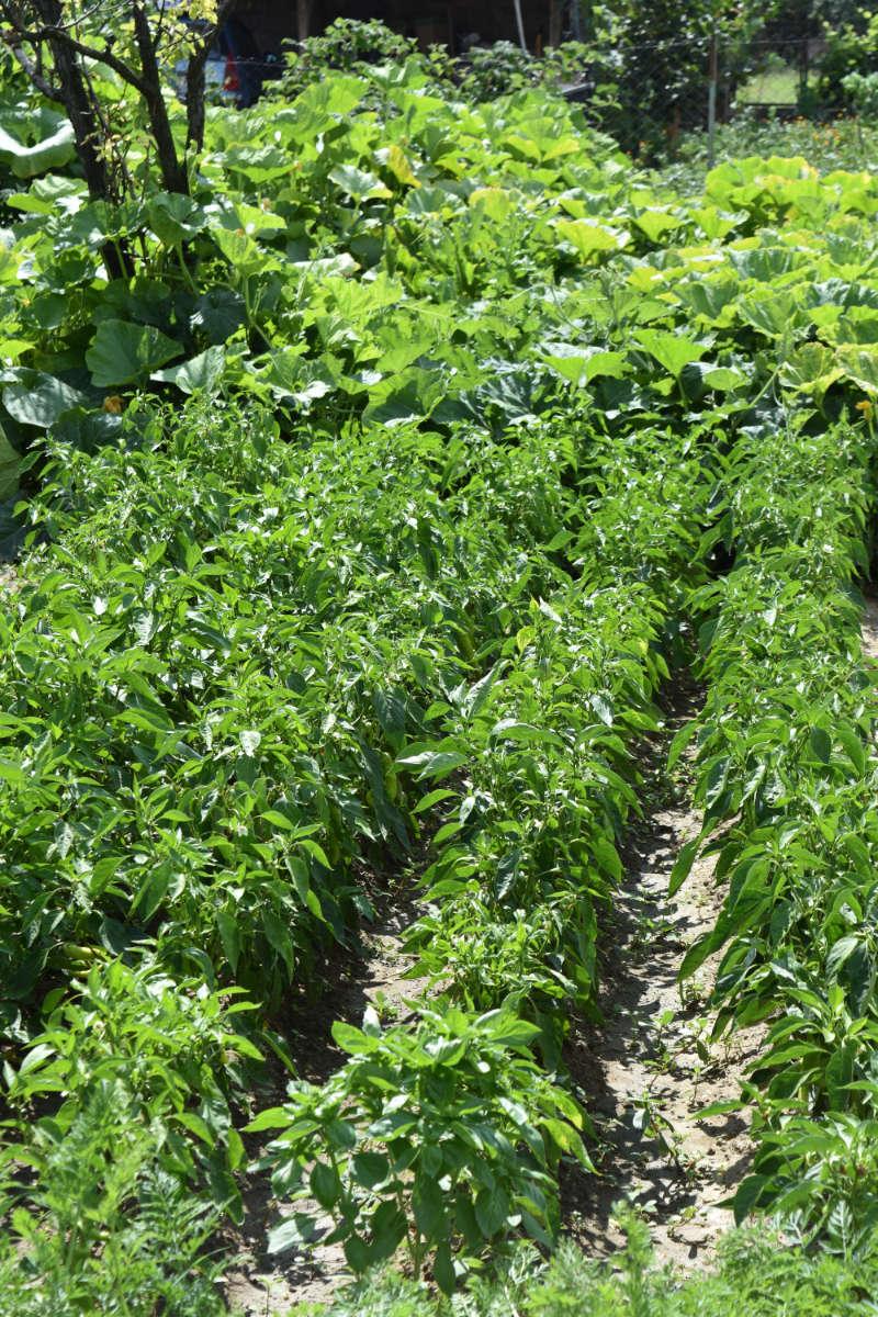 Paprika - die gesunde Schote - Paprikapflanzen im Garten - BellsWelt