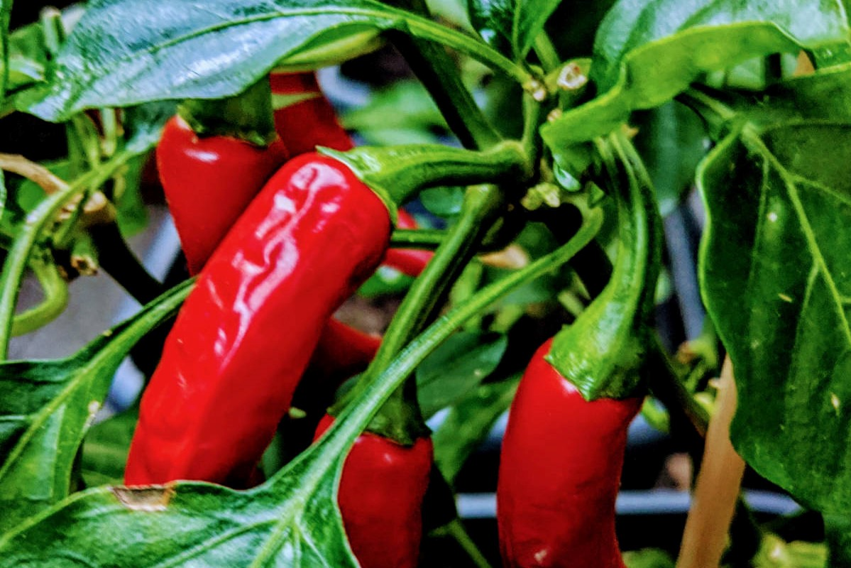 Paprika - die gesunde Schote-Titel- BellsWelt