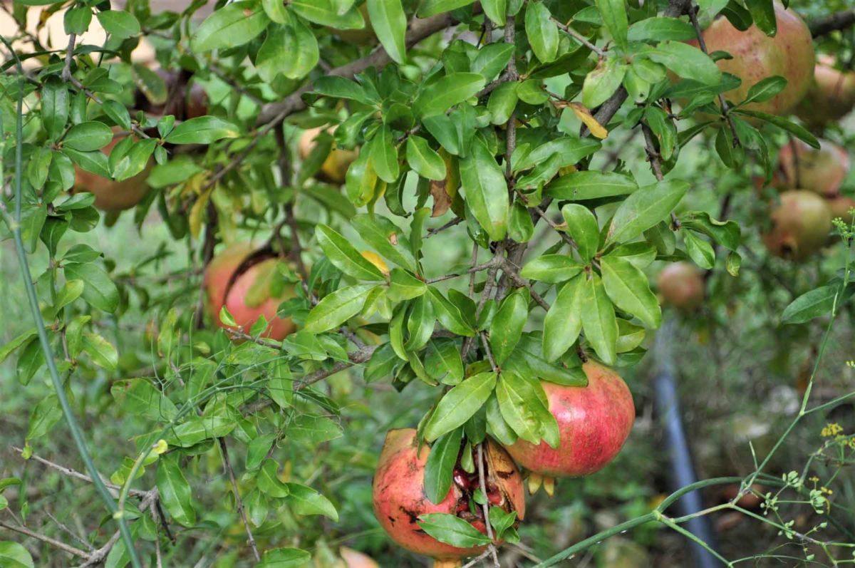 Granatapfel – die gesunde © BellsWeltParadiesfrucht