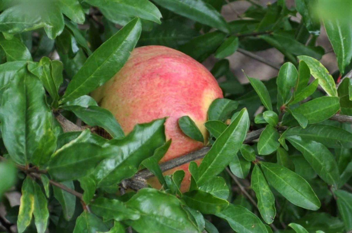 Granatapfel - der gesunde Paradiesfrucht - reifer Granatapfel - BellsWelt