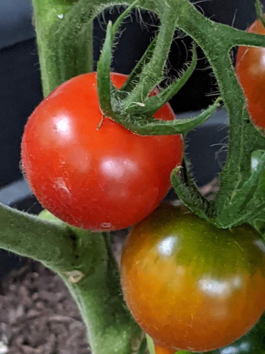 Powerfrucht Tomate - Balkontomate - BellsWelt