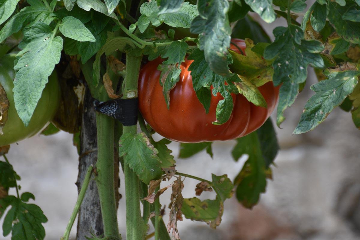 Powerfrucht Tomate - Fleischtomate im Bio Anbau - BellsWelt