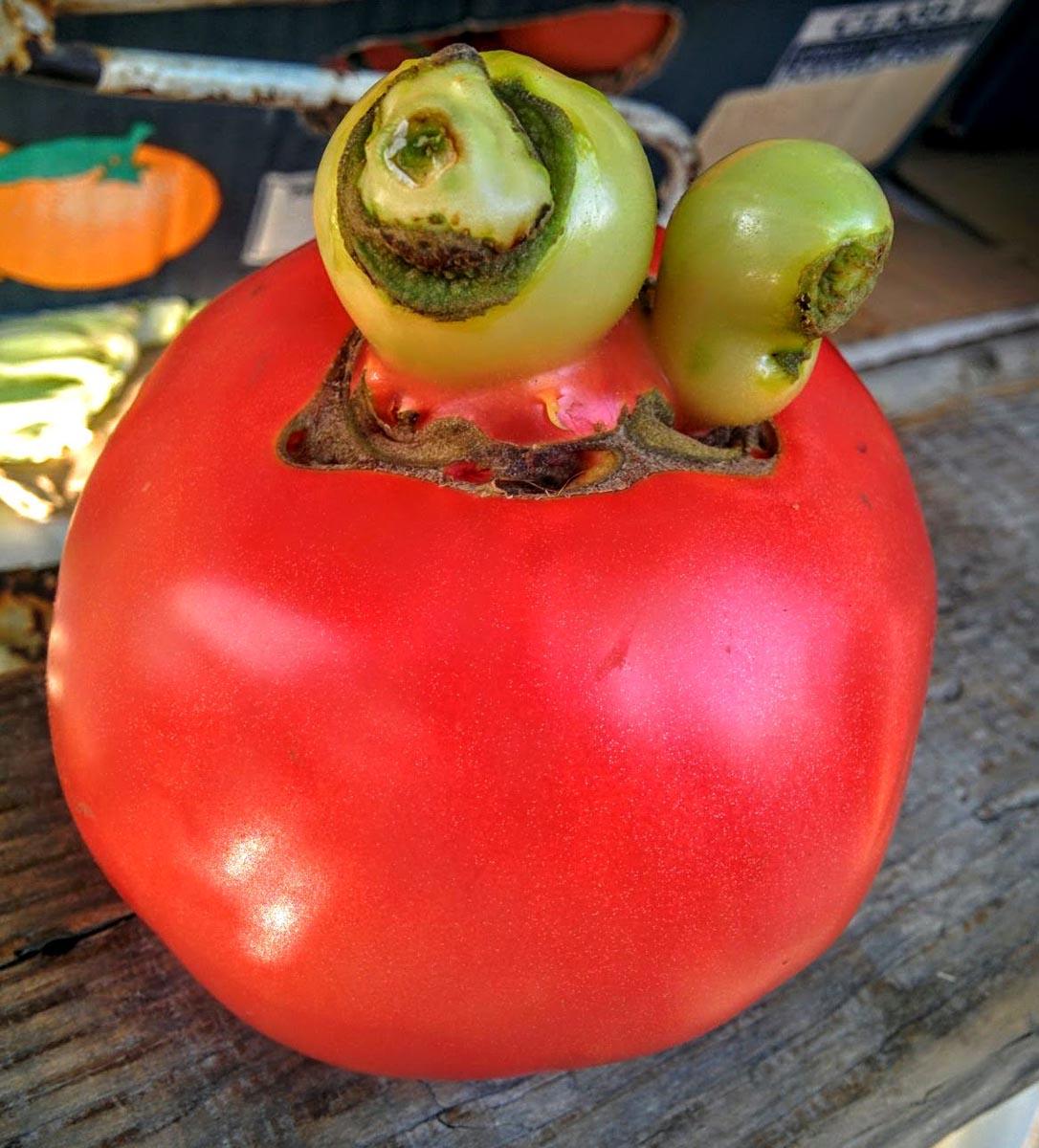 Powerfrucht Tomate - Tomate mit Auswüchsen- BellsWelt