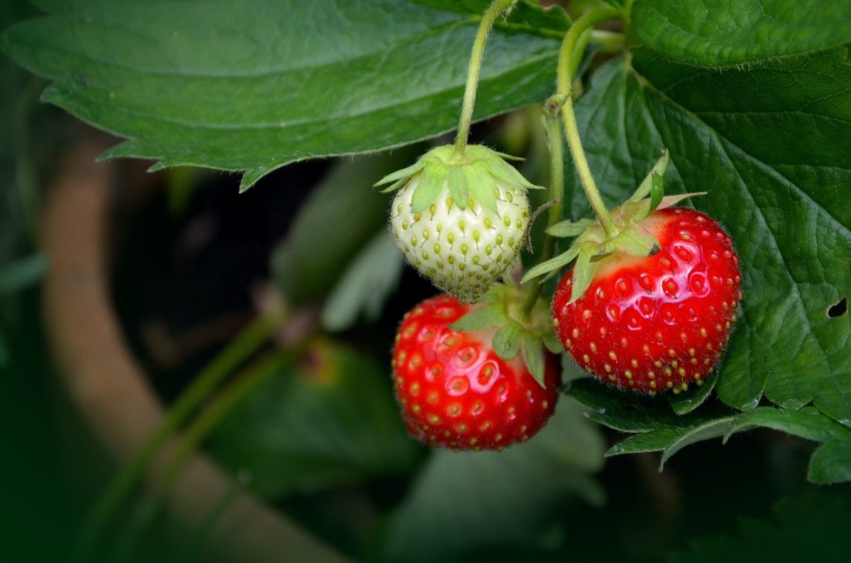 Erdbeeren – leckere Heilpflanzen - Erdbeeren am Strauch - BellsWelt