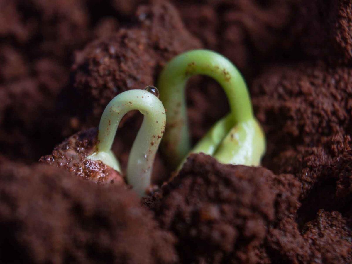 Kichererbsen – die vielseitige Eiweißquelle - Samen - BellsWelt