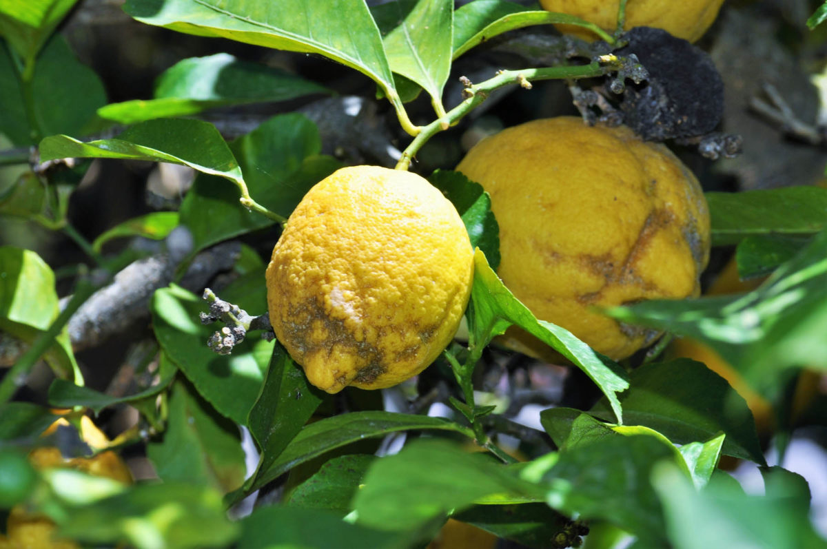 Zitronen – sauer macht lustig und gesund - Bio-Anbau - BellsWelt