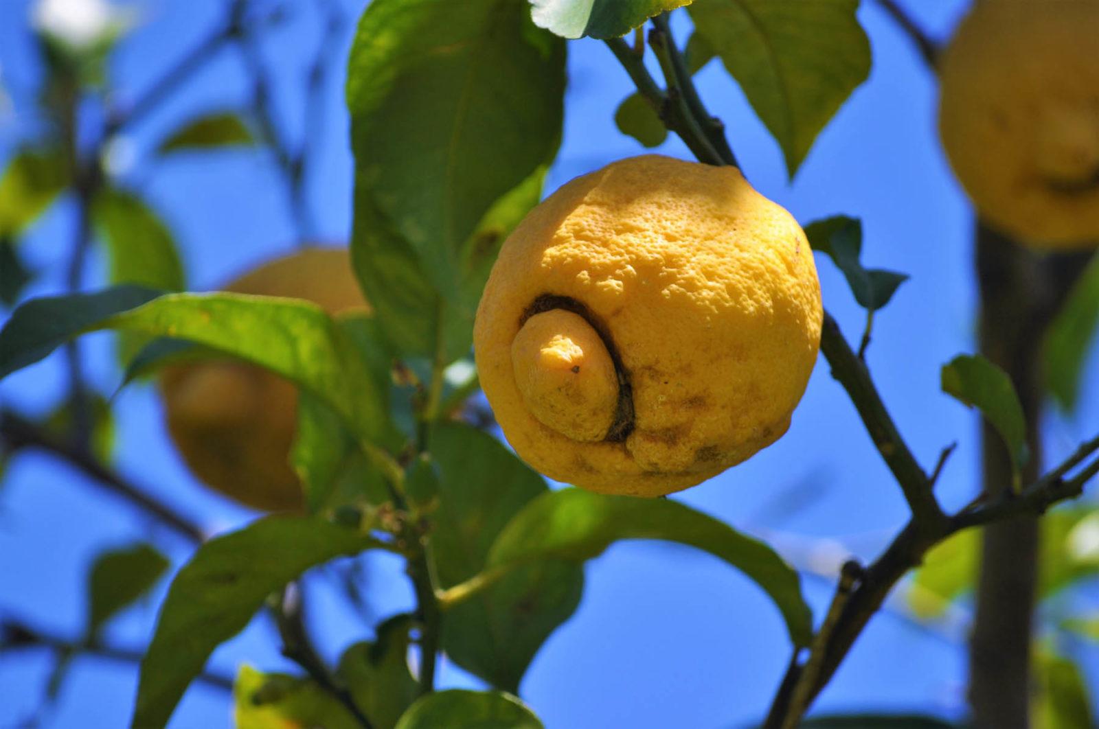 Zitronen – sauer macht lustig und gesund - Titel - BellsWelt