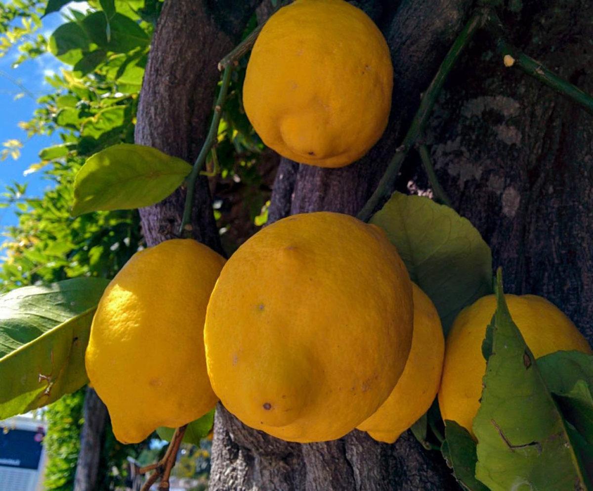 Zitronen – sauer macht lustig und gesund - Zitronen auf Ischia - BellsWelt