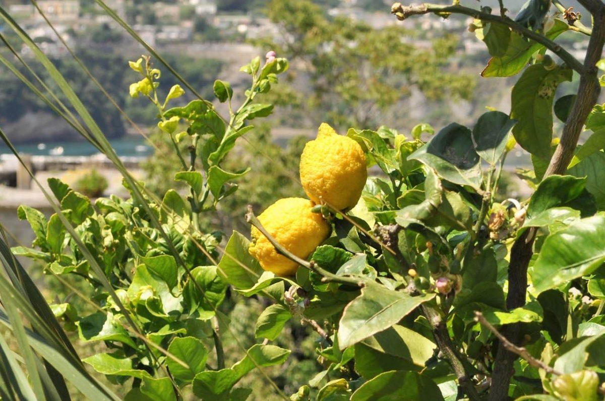 Zitronen – sauer macht lustig und gesund - Zitronen auf Procida - BellsWelt