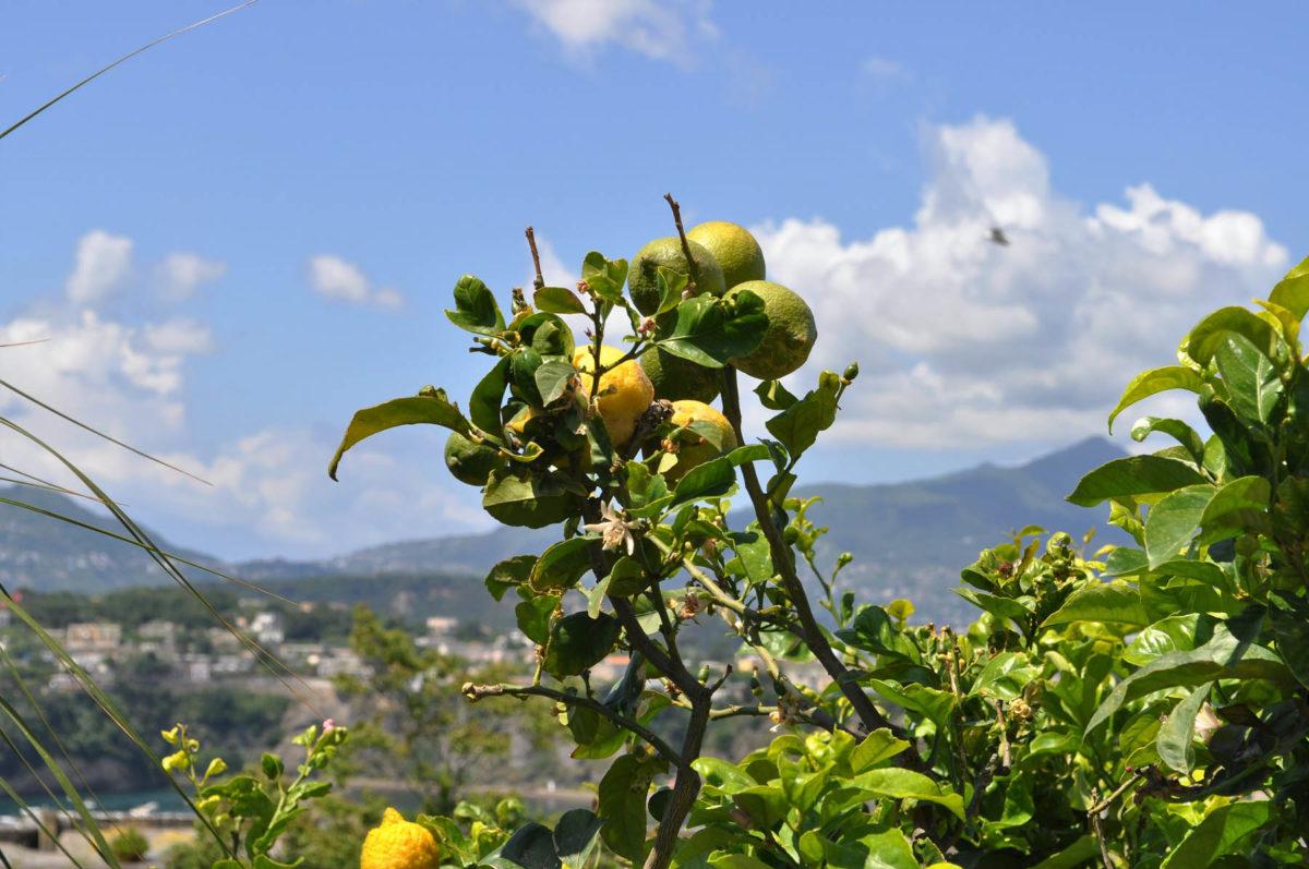 Zitronen – sauer macht lustig und gesund - Zitronen auf Procida- BellsWelt