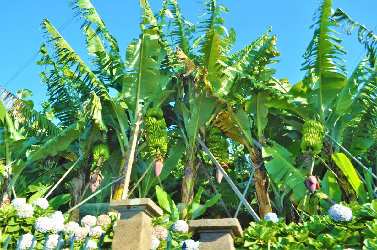 Bananen – halten uns fit und vital - Bananenplantage - BellsWelt