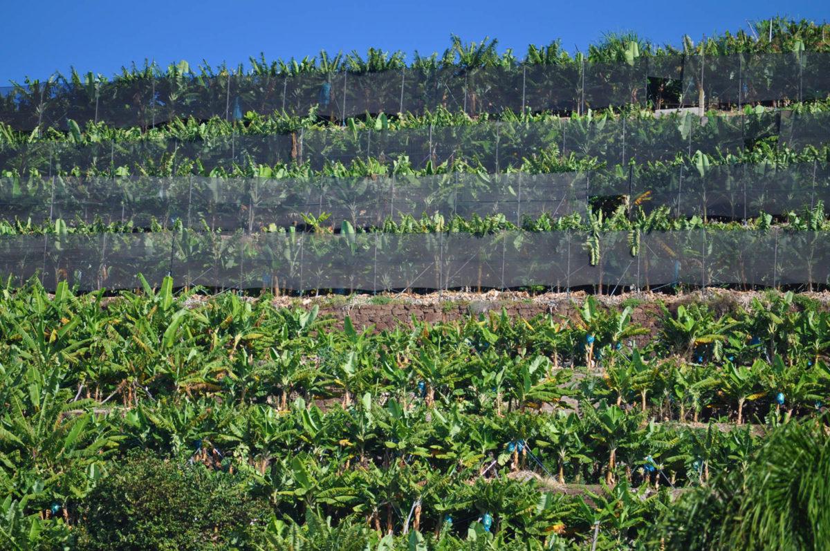 Bananen – halten uns fit und vital - Plantage auf den Kanaren - BellsWelt