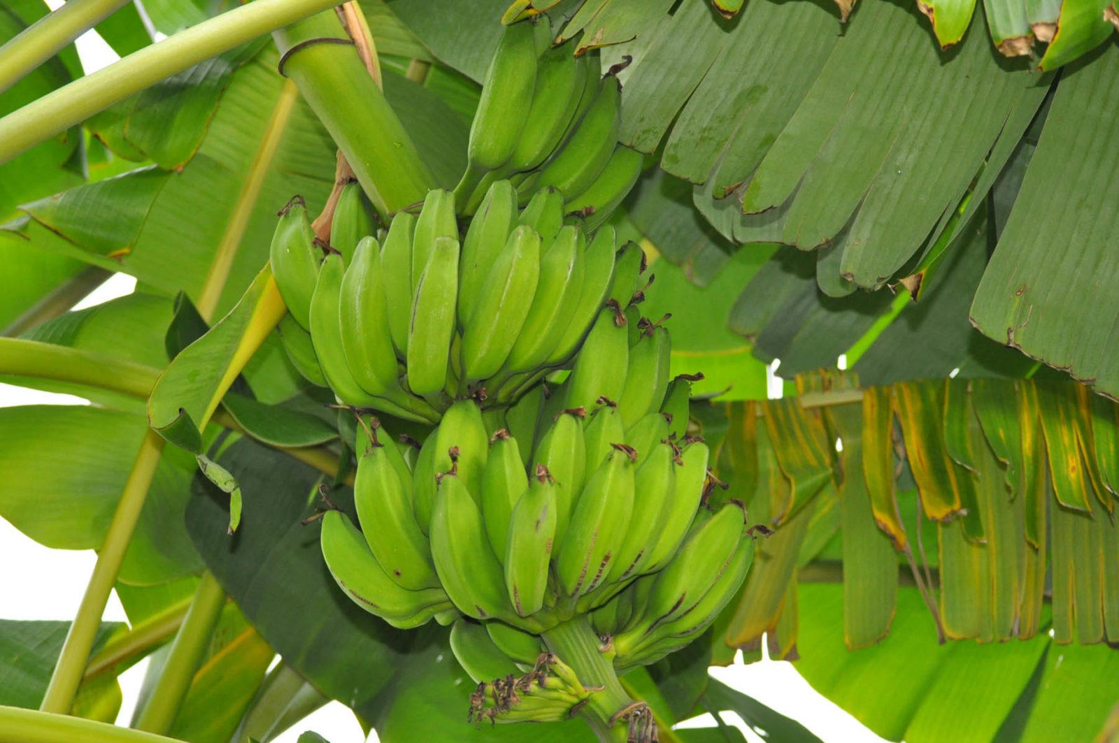 Bananen – halten uns fit und vital - Titel - BellsWelt