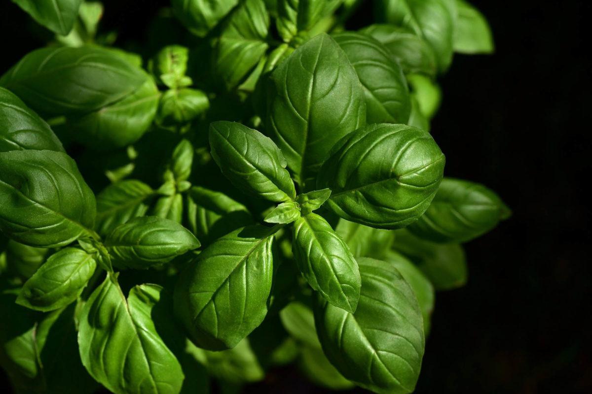 Basilikum – krebserregend oder gesund - Basilikum in der Küche - BellsWelt