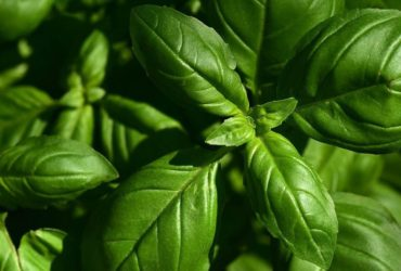 Basilikum – krebserregend oder gesund - Titel - BellsWelt