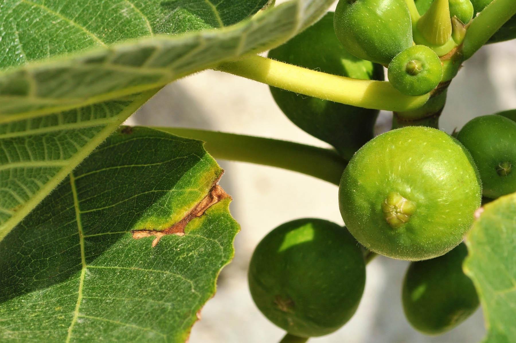 Feigen - uralte Heilpflanze - Feigenbaum- BellsWelt