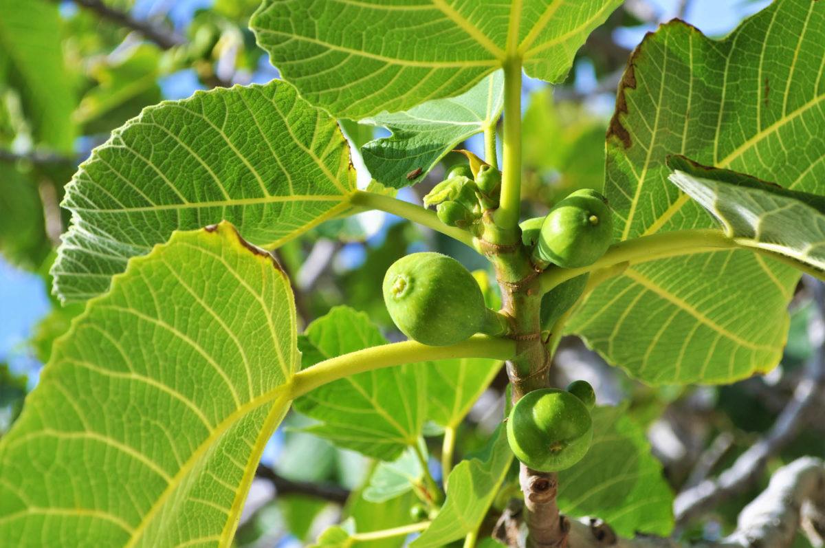 Feigen - uralte Heilpflanze - Grüne Feigen - BellsWelt