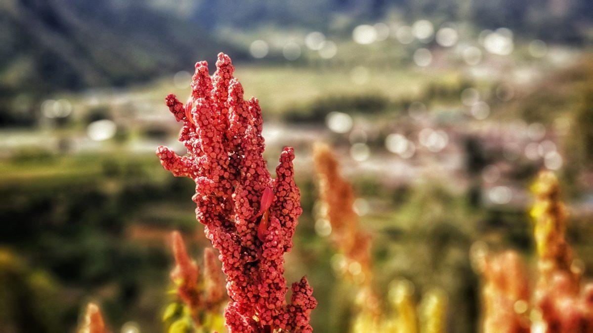 Quinoa – so gesund ist der Andenreis - Quinoapflanzen - BellsWelt