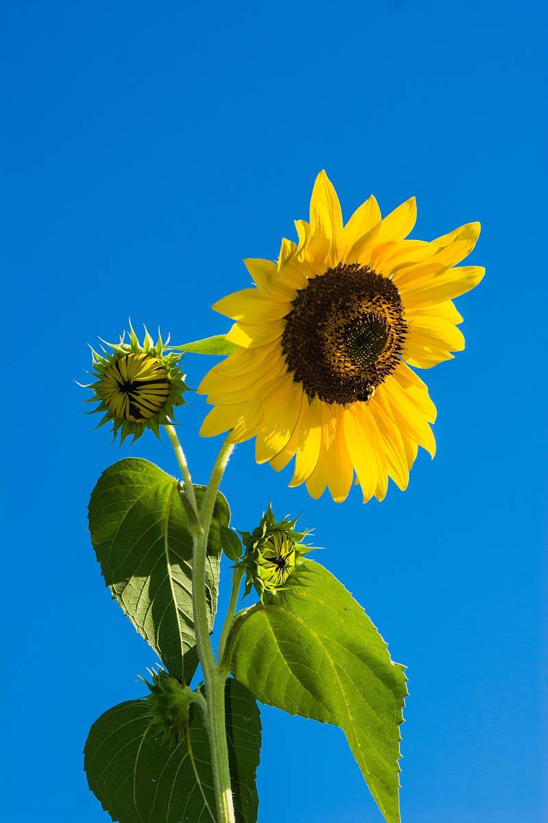 Sonnenblumen – mehr als Öl und Kerne - Natürliche Schönheit - BellsWelt